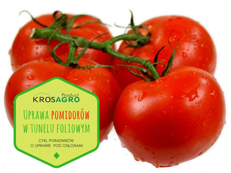 Uprawa pomidorów pod osłonami w tunelu foliowym